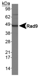 Rad9 Antibody - Western blot of Rad9 on HeLa whole cell extracts.  This image was taken for the unconjugated form of this product. Other forms have not been tested.