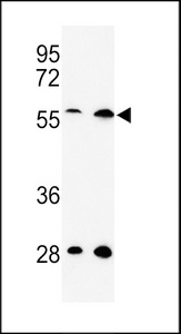 RAMA1 / SKA3 Antibody - Western blot of C13orf3 Antibody in HeLa, 293 cell line lysates (35 ug/lane). C13orf3 (arrow) was detected using the purified antibody.