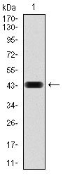 Western blot using RAP1A monoclonal antibody against human RAP1A (AA: 28-180) recombinant protein. (Expected MW is 21 kDa)