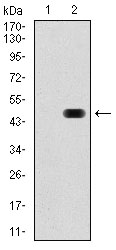 Western blot using RAP1A monoclonal antibody against HEK293 (1) and RAP1A (AA: 28-180)-hIgGFc transfected HEK293 (2) cell lysate.