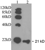RAP1A + RAP1B Antibody - Western blot: Lane 1: EasyWestern Protein Standard. Lane 2: HeLa cell lysate. Primary antibody: 1 ug/ml Rabbit Anti-RAP1A and RAP1B Polyclonal Antibody. Secondary antibody: Goat Anti-Rabbit IgG (H&L) [HRP] Polyclonal Antibody (1: 5000).