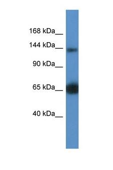 RAPGEF2 Antibody - RAPGEF2 antibody Western blot of Mouse Kidney lysate. Antibody concentration 1 ug/ml. This image was taken for the unconjugated form of this product. Other forms have not been tested.