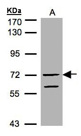 Sample (30 ug of whole cell lysate). A: HeLa S3. 7.5% SDS PAGE. RAPGEF5 / GFR antibody diluted at 1:1000