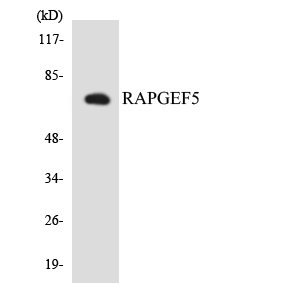 Western blot analysis of the lysates from COLO205 cells using RAPGEF5 antibody.