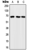 Western blot analysis of GFR expression in K562 (A); Raw264.7 (B); H9C2 (C) whole cell lysates.