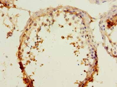 Immunohistochemistry of paraffin-embedded human testis tissue using antibody at dilution of 1:100.
