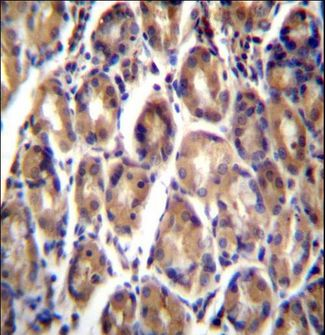 RARRES1 Antibody - RARRES1 Antibody immunohistochemistry of formalin-fixed and paraffin-embedded human stomach tissue followed by peroxidase-conjugated secondary antibody and DAB staining.