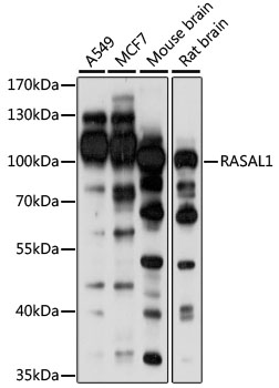RASAL1 / RASAL Antibody - Western blot analysis of extracts of various cell lines, using RASAL1 antibody at 1:1000 dilution. The secondary antibody used was an HRP Goat Anti-Rabbit IgG (H+L) at 1:10000 dilution. Lysates were loaded 25ug per lane and 3% nonfat dry milk in TBST was used for blocking. An ECL Kit was used for detection and the exposure time was 30s.