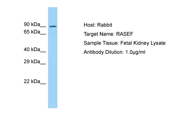RASEF Antibody -  This image was taken for the unconjugated form of this product. Other forms have not been tested.