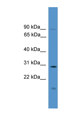 RASSF1 / RASSF1A antibody LS-C135582 Western blot of Fetal Lung lysate. Antibody concentration 1 ug/ml.  This image was taken for the unconjugated form of this product. Other forms have not been tested.