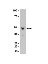 WB: HaCaT cell lysate was probed with anti- Nore1A, clone 10F10 (0.5g/ml). Arrow indicates Nore1A (~45/47kDa).