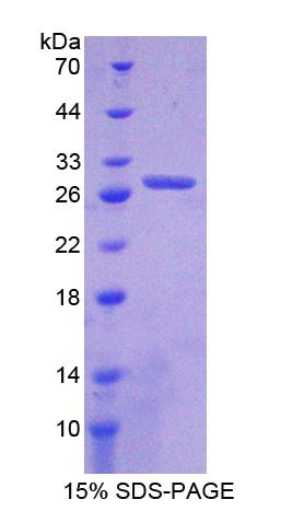 ANGPT4 / Angiopoietin-4 Protein - Recombinant  Angiopoietin 4 By SDS-PAGE