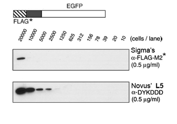 DYKDDDDK Epitope Tag Antibody (L5) - Western Blot on DYKDDDDK tagged protein demonstrating that the rat monoclonal L5 antibody is 10-15 fold more sensitive than Sigma's M2 mouse ANTI-FLAG M2 antibody.  This image was taken for the unconjugated form of this product. Other forms have not been tested.