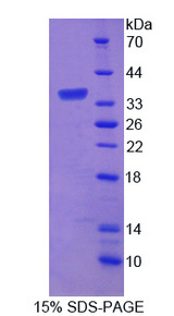 APBB3 Protein - Recombinant Amyloid Beta Precursor Protein Binding Protein B3 By SDS-PAGE