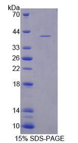 CARTPT / CART Protein - Recombinant Cocaine And Amphetamine Regulated Transcript By SDS-PAGE