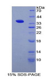 CD1D Protein - Recombinant Cluster Of Differentiation 1d By SDS-PAGE