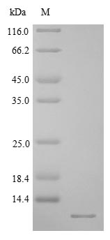 CRYGB Protein - (Tris-Glycine gel) Discontinuous SDS-PAGE (reduced) with 5% enrichment gel and 15% separation gel.