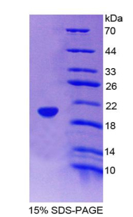 FABP9 / Lipid-Binding Protein Protein - Recombinant  Fatty Acid Binding Protein 9, Testis By SDS-PAGE