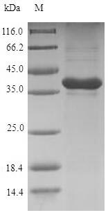 GREM1 / Gremlin-1 Protein - (Tris-Glycine gel) Discontinuous SDS-PAGE (reduced) with 5% enrichment gel and 15% separation gel.