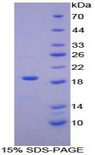HMOX1 / HO-1 Protein - Recombinant Heme Oxygenase 1, Decycling By SDS-PAGE