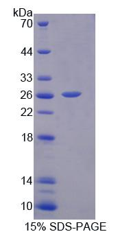 IL17D Protein - Recombinant Interleukin 17D By SDS-PAGE