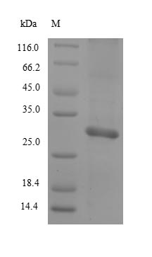 Mast Cell Protease 2 [Mus musculus] Protein - (Tris-Glycine gel) Discontinuous SDS-PAGE (reduced) with 5% enrichment gel and 15% separation gel.