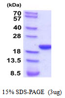 PPIF / Cyclophilin F Protein