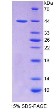 PTHR2 / PTH2R Protein - Recombinant  Parathyroid Hormone Receptor 2 By SDS-PAGE