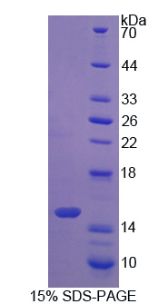 S100A16 Protein - Recombinant S100 Calcium Binding Protein A16 By SDS-PAGE
