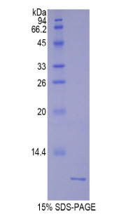 UCN2 / SRP Protein - Recombinant Urocortin 2 By SDS-PAGE