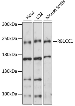 Western blot analysis of extracts of various cell lines, using RB1CC1 antibody at 1:1000 dilution. The secondary antibody used was an HRP Goat Anti-Rabbit IgG (H+L) at 1:10000 dilution. Lysates were loaded 25ug per lane and 3% nonfat dry milk in TBST was used for blocking. An ECL Kit was used for detection and the exposure time was 30s.