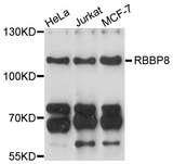 Western blot analysis of extracts of various cell lines, using RBBP8 antibody at 1:1000 dilution. The secondary antibody used was an HRP Goat Anti-Rabbit IgG (H+L) at 1:10000 dilution. Lysates were loaded 25ug per lane and 3% nonfat dry milk in TBST was used for blocking. An ECL Kit was used for detection and the exposure time was 10s.