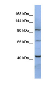 RBM12 antibody Western blot of HT1080 cell lysate. This image was taken for the unconjugated form of this product. Other forms have not been tested.