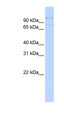 RBM12 antibody Western blot of MCF7 cell lysate. This image was taken for the unconjugated form of this product. Other forms have not been tested.