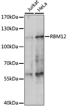 Western blot analysis of extracts of various cell lines, using RBM12 antibody at 1:1000 dilution. The secondary antibody used was an HRP Goat Anti-Rabbit IgG (H+L) at 1:10000 dilution. Lysates were loaded 25ug per lane and 3% nonfat dry milk in TBST was used for blocking. An ECL Kit was used for detection and the exposure time was 180s.