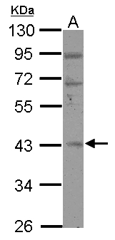 RBM4B Antibody - Sample (30 ug of whole cell lysate) A: 293T 10% SDS PAGE RBM4B antibody diluted at 1:500