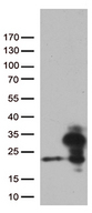 RBM8A / Y14 Antibody - HEK293T cells were transfected with the pCMV6-ENTRY control. (Left lane) or pCMV6-ENTRY RBM8A. (Right lane) cDNA for 48 hrs and lysed. Equivalent amounts of cell lysates. (5 ug per lane) were separated by SDS-PAGE and immunoblotted with anti-RBM8A. (1:500)