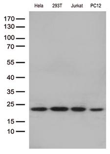 RBM8A / Y14 Antibody - Western blot analysis of extracts. (35ug) from 4 cell lines lysates by using anti-RBM8A monoclonal antibody. (1:250)