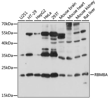 RBM8A / Y14 Antibody - Western blot analysis of extracts of various cell lines, using RBM8A antibody at 1:1000 dilution. The secondary antibody used was an HRP Goat Anti-Rabbit IgG (H+L) at 1:10000 dilution. Lysates were loaded 25ug per lane and 3% nonfat dry milk in TBST was used for blocking. An ECL Kit was used for detection and the exposure time was 10s.