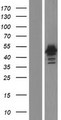 RBMS1 Protein - Western validation with an anti-DDK antibody * L: Control HEK293 lysate R: Over-expression lysate