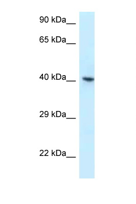 RBMX antibody Western blot of 3 Cell lysate. Antibody concentration 1 ug/ml.  This image was taken for the unconjugated form of this product. Other forms have not been tested.