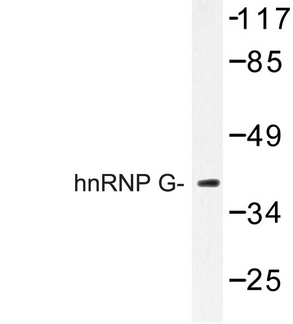 Western blot of hnRNP G (M40) pAb in extracts from HeLa cells.