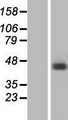 RBMX Protein - Western validation with an anti-DDK antibody * L: Control HEK293 lysate R: Over-expression lysate