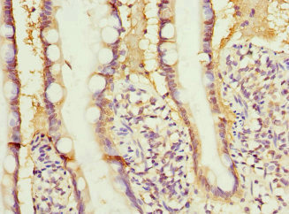 Immunohistochemistry of paraffin-embedded human small intestine at dilution 1:100
