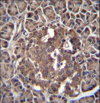 RBPJL Antibody - RBPJL Antibody immunohistochemistry of formalin-fixed and paraffin-embedded human pancreas tissue followed by peroxidase-conjugated secondary antibody and DAB staining.
