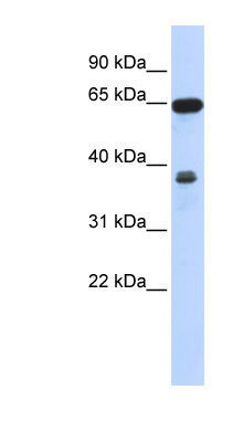 RCC2 antibody LS-C102723 Western blot of 293T cell lysate.  This image was taken for the unconjugated form of this product. Other forms have not been tested.