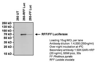 Red Firefly Luciferase Antibody - WB using Red Firefly Luciferase Antibody