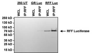 Red Firefly Luciferase Antibody - IP using Red Firefly Luciferase Antibody