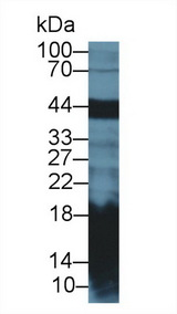 Western Blot; Sample: Mouse Pancreas lysate; Primary Ab: 2µg/ml Rabbit Anti-Rat REG1a Antibody Second Ab: 0.2µg/mL HRP-Linked Caprine Anti-Rabbit IgG Polyclonal Antibody