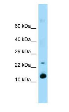 REG1A / REG antibody Western Blot of Mouse Pancreas.  This image was taken for the unconjugated form of this product. Other forms have not been tested.